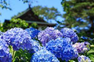 AME618ajisai_TP_V (1)